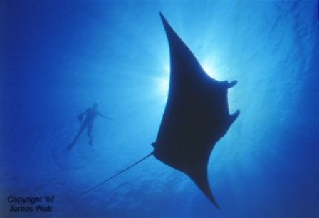 Manta Ray Night Snorkel Manta Ray Night Dive Big
