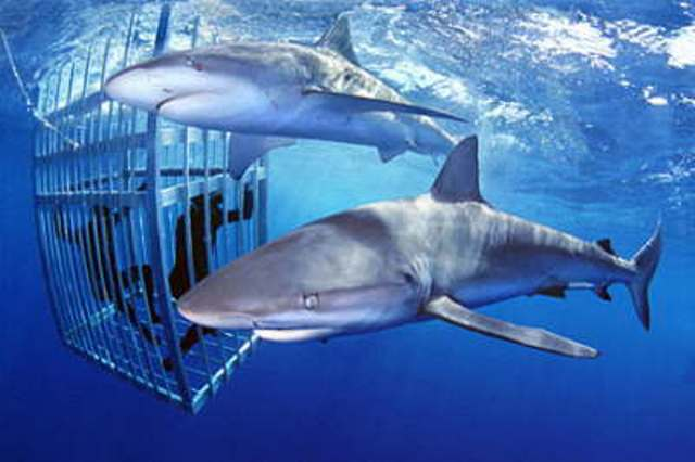 Hawaii Shark Tours Cages